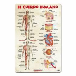 LAMINA EDUCATIVA 40X59 EL CUERPO HUMANO